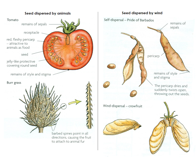 Diagrams Of Seeds Fruits Diy Wiring Diagrams