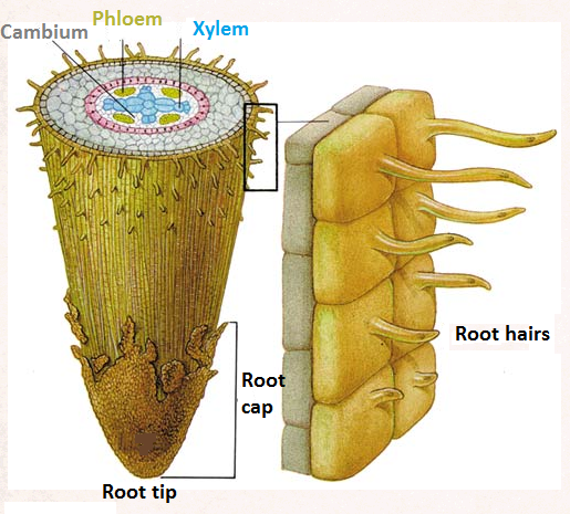 Root Hairs Microscope 61 Root Hairs And Water Uptake