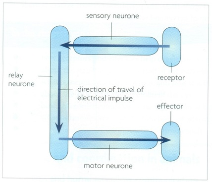 Simple reflex arc biology notes for igcse 2014 picture ccuart Choice Image