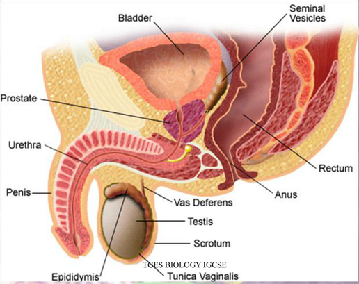Female anatomy g spot