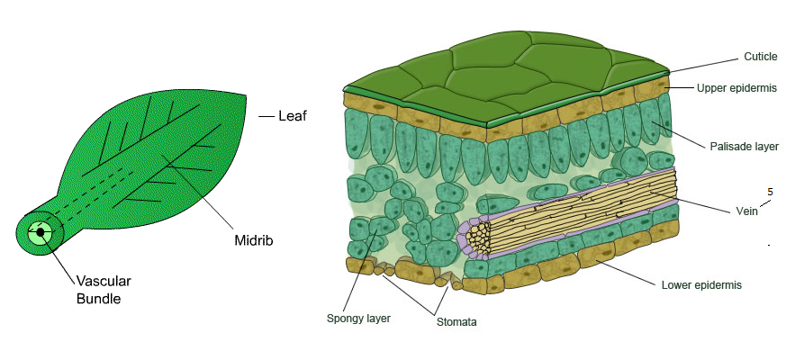 Distribution Of Xylem And Phloem In Roots Stems And Leaves