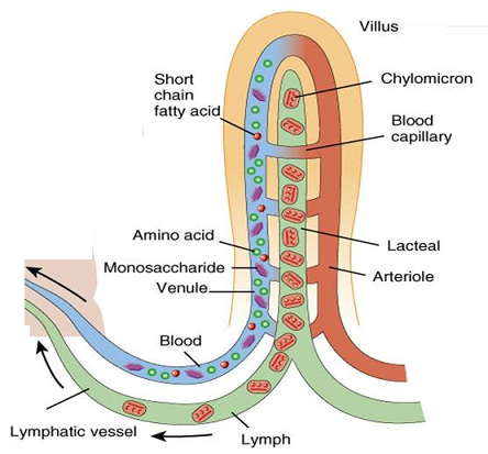 Absorption Function Of The Small Intestine And Significance Of