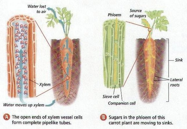 Functions of xylem and phloem - Biology Notes for IGCSE 2014