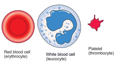 Blood cells structure and functions biology notes for igcse 2014 picture ccuart Image collections