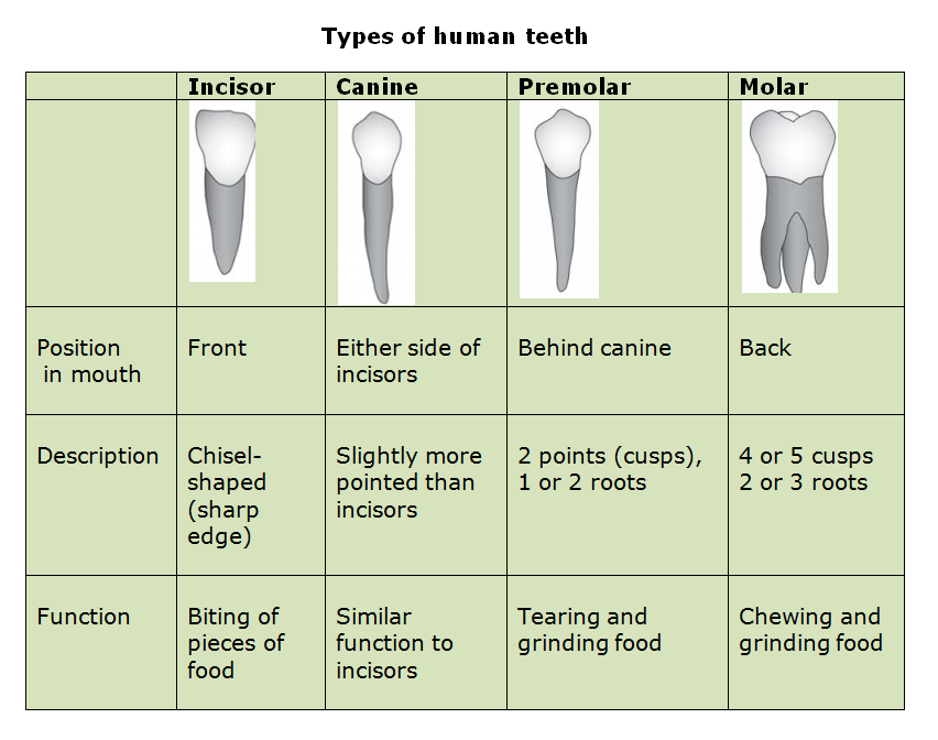 Human teeth and dental decay biology notes for igcse 2014 picture structure of tooth ccuart Image collections