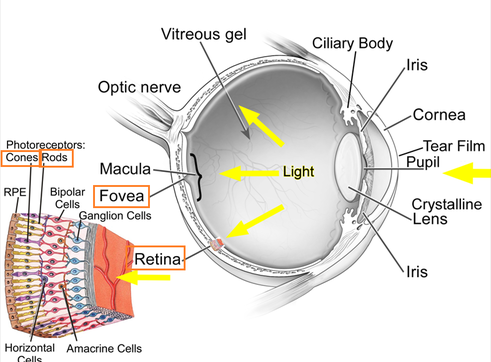 Eye in rod and cone cell diagram electrical drawing wiring diagram the eye rods and cones biology notes for igcse 2014 rh biology igcse weebly com cow eye rods and cones function of rods and cones ccuart Images