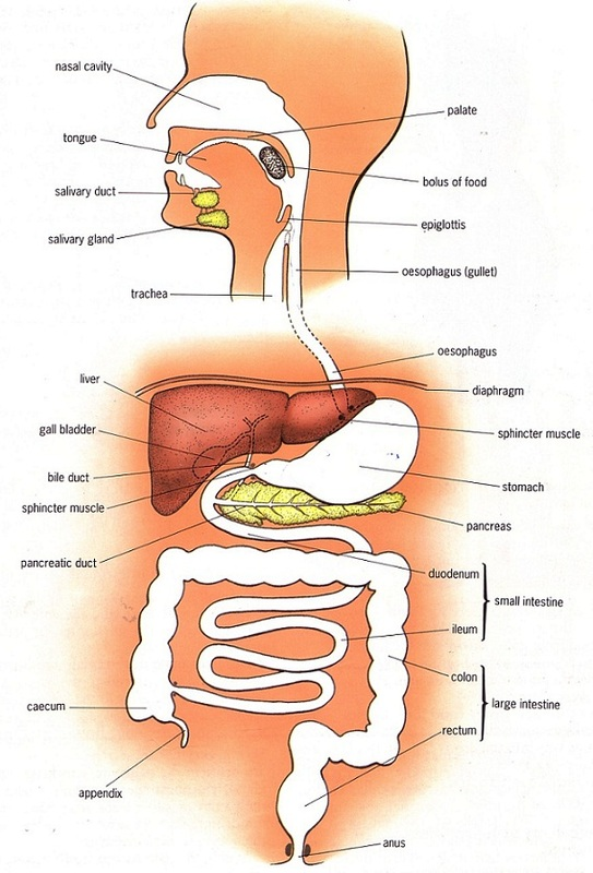 Human alimentary canal biology notes for igcse 2014 picture ccuart Image collections
