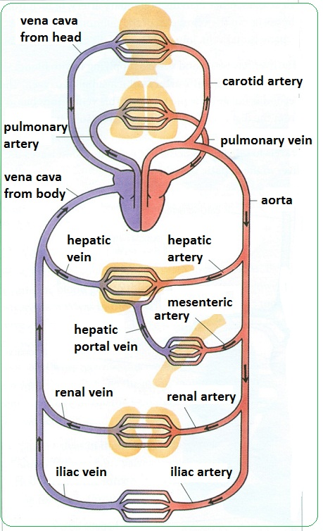 Arteries, veins and capillaries - structure and functions - Biology ...