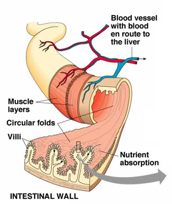 absorption – function of the small intestine and significance of, Human Body