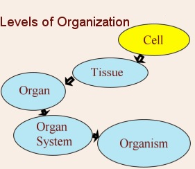 Tissues organs systems biology notes for igcse 2014 picture ccuart Images
