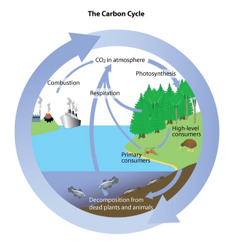 Carbon water cycles biology notes for igcse 2014 picture ccuart Image collections