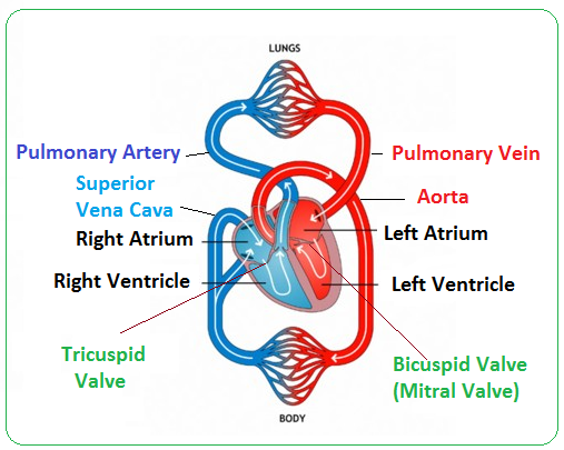 Structure and function of the heart biology notes for igcse 2014 picture ccuart Choice Image