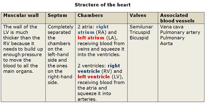 Structure and function of the heart biology notes for igcse 2014 picture picture hearts function ccuart Gallery