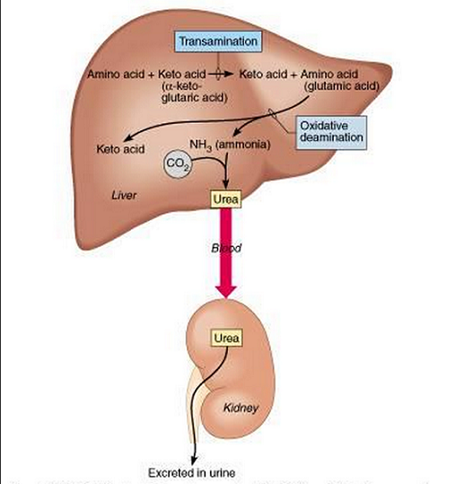 Assimilation And Role Of The Liver Biology Notes For Igcse 2014