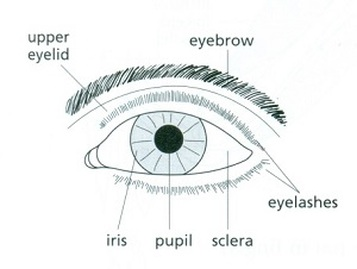 The eye rods and cones biology notes for igcse 2014 the eyebrow stops sweat running down into the eye ccuart Choice Image