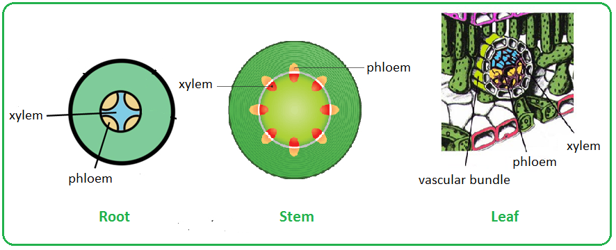 Distribution Of Xylem And Phloem In Roots Stems And