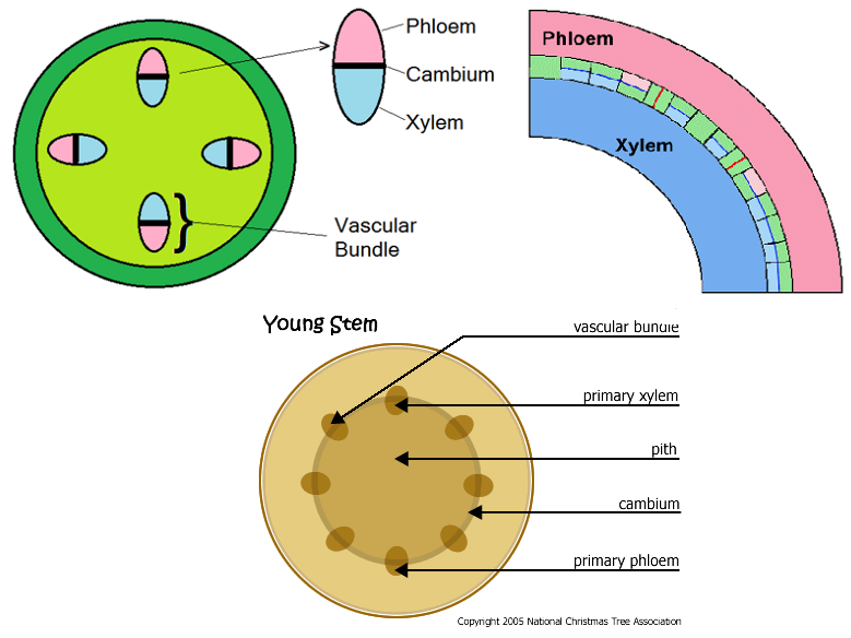 Picture Xylem And Phloem Diagram