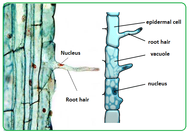 explain how water is absorbed by root hair cells
